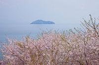 サクラと海津大崎と竹生島