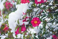 サザンカに積もった雪 11002054417| 写真素材・ストックフォト・画像・イラスト素材|アマナイメージズ