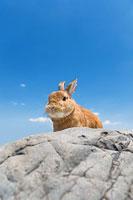 岩の上のウサギ ネザーランドドワーフ