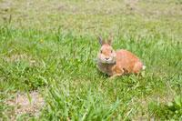 芝生の上のウサギ ネザーランドドワーフ