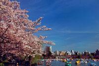 不忍池と桜