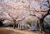 善福寺公園と桜