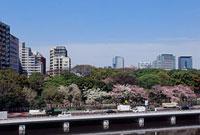 千鳥ヶ淵の桜と首都高速