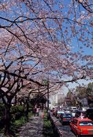 イギリス大使館付近の桜