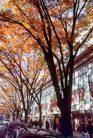 表参道の紅葉 11002054509| 写真素材・ストックフォト・画像・イラスト素材|アマナイメージズ