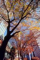 紅葉した街路樹とビル 新宿中央公園北交差点付近 11002054511| 写真素材・ストックフォト・画像・イラスト素材|アマナイメージズ