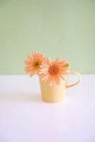 マグカップの中のガーベラ 11002055303| 写真素材・ストックフォト・画像・イラスト素材|アマナイメージズ