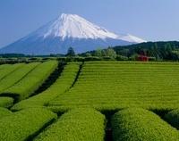富士市 茶畑と富士山