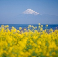 沼津市 西浦 菜の花と富士山