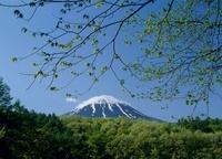 鳴沢村 新緑と富士山