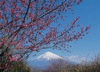 芝川からの桃の木と富士山 11002058547| 写真素材・ストックフォト・画像・イラスト素材|アマナイメージズ