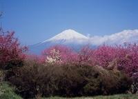 富士宮市 芝川 ヤマモモと富士山