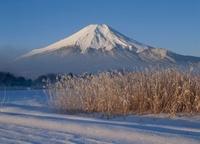 忍草 雪景色の富士山