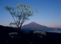 山中湖村 パノラマ台 シシウドと富士山 11002058824| 写真素材・ストックフォト・画像・イラスト素材|アマナイメージズ