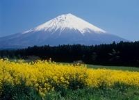 菜の花と富士山 11002058862| 写真素材・ストックフォト・画像・イラスト素材|アマナイメージズ