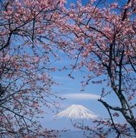 沼津市 一本松 河津桜と富士山 11002058907| 写真素材・ストックフォト・画像・イラスト素材|アマナイメージズ