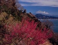 さった峠から梅の木と富士山