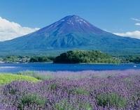 河口湖 ラベンダー畑と富士山 11002059194| 写真素材・ストックフォト・画像・イラスト素材|アマナイメージズ