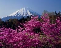 西湖野鳥の森公園 花 ツツジと富士山