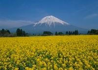 富士宮市 人穴 菜の花と富士山