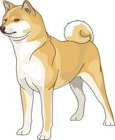犬 秋田犬 11002068670| 写真素材・ストックフォト・画像・イラスト素材|アマナイメージズ