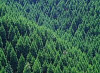 スギとヒノキの森林