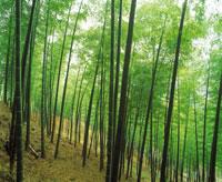 新緑の竹林