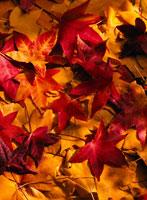 紅葉 11004015876| 写真素材・ストックフォト・画像・イラスト素材|アマナイメージズ