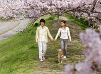 犬を散歩させるカップルと満開の桜