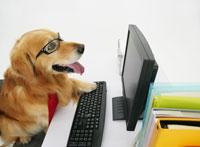 パソコンの前に座るゴールデンレトリバー 11004020861| 写真素材・ストックフォト・画像・イラスト素材|アマナイメージズ