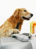 電話を持つゴールデンレトリバー 11004020864| 写真素材・ストックフォト・画像・イラスト素材|アマナイメージズ