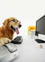 パソコンの前に座るゴールデンレトリバー 11004020865| 写真素材・ストックフォト・画像・イラスト素材|アマナイメージズ