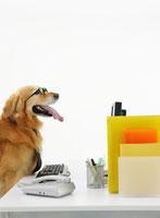 パソコンの前に座るゴールデンレトリバー 11004020868| 写真素材・ストックフォト・画像・イラスト素材|アマナイメージズ