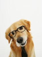 ネクタイと眼鏡をしたゴールデンレトリバー