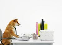 パソコンの前に座る柴犬 11004020871| 写真素材・ストックフォト・画像・イラスト素材|アマナイメージズ