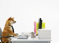 パソコンの前に座る柴犬 11004020872| 写真素材・ストックフォト・画像・イラスト素材|アマナイメージズ