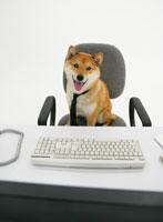 パソコンの前に座る柴犬