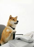 電話に手を伸ばす柴犬