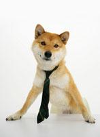 机に手をつく柴犬