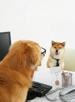 パソコンの前に座る犬 11004020881| 写真素材・ストックフォト・画像・イラスト素材|アマナイメージズ
