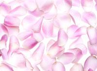 散らばったバラの花びら