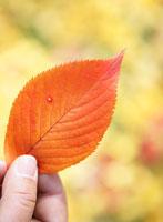 紅葉した落ち葉を持つ手