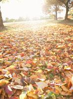 紅葉した落ち葉のじゅうたん