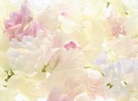 色とりどりの花 スウィートピー