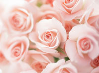 ピンクの花 バラ