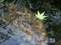 水に浮かぶ楓の葉
