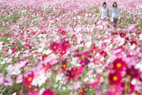 コスモス畑に立つ二人の女性