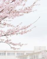 桜と学校 11004097929  写真素材・ストックフォト・画像・イラスト素材 アマナイメージズ