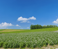 花満開のジャガイモ畑