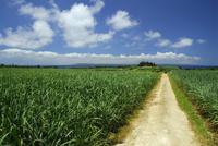サトウキビ畑と道